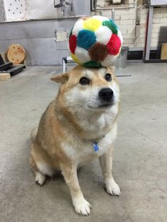 So I previously saved a picture of this dog with oranges on his paws and head, and I thought that was just it. But turns out he can balance several things on his head. Shiba Inu Doge, Funny Dogs, Cute Dogs, Animals And Pets, Cute Animals, Little Puppies, Best Dogs, Dog Breeds, Labrador Retriever