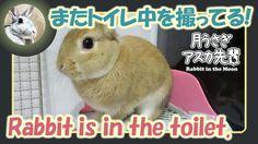 またトイレ中を撮ってる!【ウサギのだいだい 】Rabbit is in the toilet. 2016年5月27日