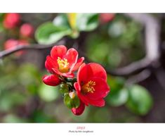 명자나무 4월에 피는 꽃 (산당화) Berry Plants, Spring Blossom, Medicinal Plants, Flower Pictures, Still Life, Beautiful Flowers, Berries, Scenery, Leaves