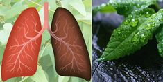Bacteria and viruses are living organisms known to cause thousands of deaths annually. If you're short of breath, here are 15 powerful herbs for your lungs. Natural Treatments, Natural Remedies, Lung Detox, Oregano Essential Oil, Essential Oils, Lung Infection, Body Organs, Respiratory System, Frases
