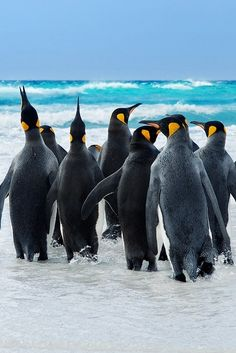 21 King Penguin pictures and Information - meowlogy King Penguin, Penguin Love, Cute Penguins, Penguin Facts, Beautiful Birds, Animals Beautiful, Cute Animals, Penguin Pictures, Animal Pictures