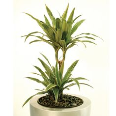 From a genus of evergreen foliage plants from the tropics, Dracaena deremensis warneckii grows to with leaves up to long!