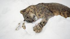 snow leopard hugging snow