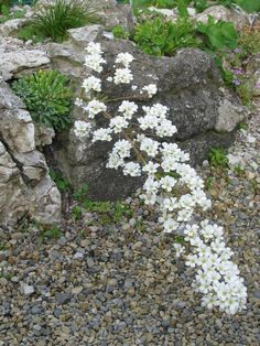 The wonderful Saxifraga 'Tumbling Waters' on my mini rock garden is so aptly named.