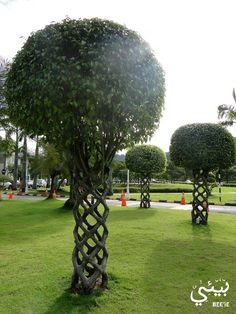 Pleached trees. When young & flexible saplings are woven together & tied & eventually they grow together into one.
