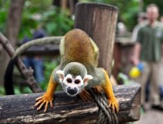A squirrel monkey looks at the photographer at the zoo in Leipzig, Germany.