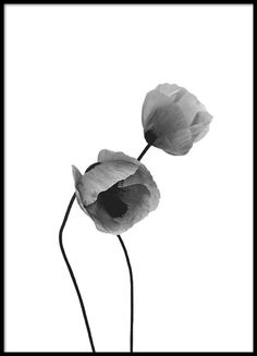 Grey Poppy flowers, poster