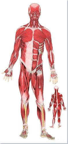 Système musculaire