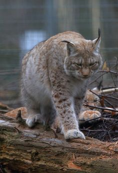 Le lynx de Sibérie est un prédateur de taille moyenne, il mesure 75 cm au garrot, pour un poids de 15 à 30 kg.  Ses empreintes de grande taille peuvent d'ailleurs être confondues avec celles du chat forestier.  On reconnaît facilement cet animal grâce aux pinceaux de poils de 3 cm qui ornent ses oreilles.  Il possède de plus une queue courte, qui lui permet de perdre moins de chaleur durant les hivers rigoureux.  Quant à la couleur de sa fourrure, elle est très variable, allant du blanc…