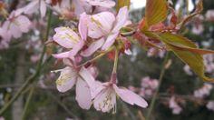 Rusokirsikka | Vesan viherpiperryskuvat – puutarha kukkii