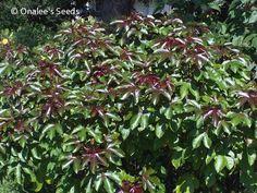 Sun or Shade - Sunny Garden Plants and Bushes - BellyAche Bush (Jatropha gossypifolia) Seeds
