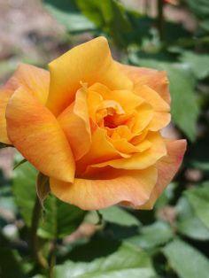 Tu belleza no se compara con nadie , mi bella rosa-