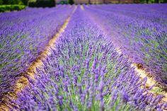 Dal 2010 a Castelnuovo di Assisi presso il giardino IL LAVANDETO DI ASSISI si svolge LA FESTA DELLA LAVANDA. Un giardino di 2 ettari creato appositamente per questo evento che attira persone da tut…