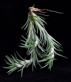 Plant Oddities Tillandsia araujei-Open Form- Hanging Clusters • for sure