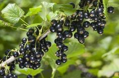 Черная смородина: весеннее черенкование