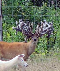 Freak Show Bucks: A Hard Look at Breeding For Antlers You are in the right place about Mammals print Interesting Animals, Unusual Animals, Rare Animals, Animals Beautiful, Animals And Pets, Funny Animals, Whitetail Deer Pictures, Big Deer, Tier Fotos