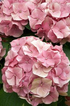 Pink hydrangea More