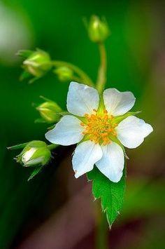 Wild Strawberry (Fragaria virginiana) by Saundra B.
