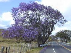 Jacaranda | Flore de l'île de la Réunion