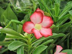 expo flores de holambra em salvador flor do deserto