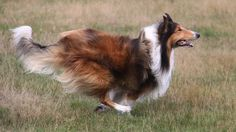 Collie in motion Cute Dogs And Puppies, Big Dogs, Doggies, Collie Puppies, Collie Dog, Big Dog Breeds, Rough Collie, Dog Activities, Shetland Sheepdog