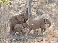 Wanna see these elephants up close and personal?! Book your african safari now at www.thecruiseplanner.com