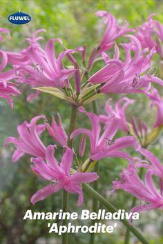 Diese Amarine wurde nach der Göttin der Liebe und Schönheit benannt: Aphrodite. Könnt Ihr Euch einen besseren Namen für eine so schöne Zwiebelblume vorstellen? Sie ist die Favoritin Kitty de Jong, der Züchterin der Amarinen. Ihr eigener Garten ist voll davon. Einfach herrlich! Aphrodite, Pink, Daffodils, Dahlias, Beautiful Flowers, Tulips, Names, Simple, Pink Hair