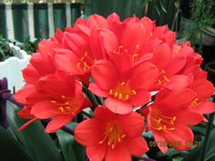 red clivias you mentioned