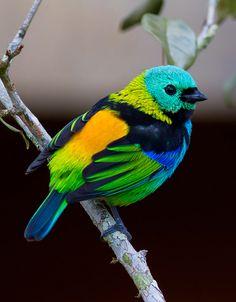 Foto saíra-sete-cores (Tangara seledon) por Daniel Mello | Wiki Aves - A Enciclopédia das Aves do Brasil