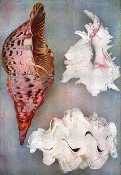 Animal sea shells  Shells From Indian Ocean ♥♥♥