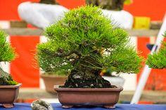 Shohin black pine extravaganza   Bonsai Tonight