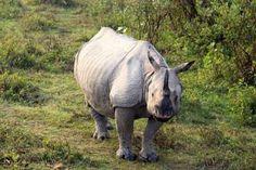 indiese-eenhoring-renoster-Kaziranga-park Rhinos, Elephant, Van, Logos, Animals, Africa, Animales, Animaux, Rhinoceros