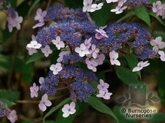 Hydrangea Aspera Villosa Group from Burncoose Nurseries available online to buy - Information: Violet-purple. Deciduous - lance-shaped to narrowly oval, velvety, dark-green leaves long.Purple - Shades of purple/mauve/lilac/violet - violet-purple Planting Shrubs, Family Garden, Shades Of Purple, Green Leaves, Lilac, Pergola, Nursery, Hydrangeas, Garten