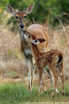 Fawn with mother- photography Howard B Cheek