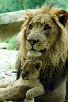 Father And Cute Sleeping Son. This is quite rare if you know anything about lions. <3