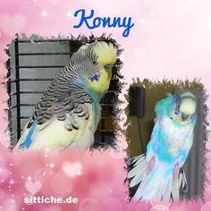 Konny, die kleine Bangebuchse - Wellensittich Forum und Galerie fuer Wellensittich-Freunde Parrot, Bird, Animals, Budgies, Friends, Parrot Bird, Animales, Animaux, Birds