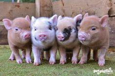 Ação Pelos Direitos dos Animais: Mini, Big, Pig e a Petificação Todos tem Direito à...