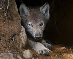 timberwolf pup