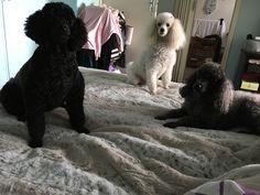 SOPHIE, VANILLA ROSE, POLLYANNA take over my bed.,