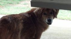 This is Pete a 9 yr old Golden mix. He is an owner surrender due to lack of time. Pete has always lived as an outdoor dog & is not potty trained. He is neutered, current on vaccinations, walks well on leash, loves kids & gets along with small dogs - large dogs scare him. He also knows some commands. He is a playful, energetic boy looking for a forever home & is at Tennessee Valley Golden Retriever Rescue.