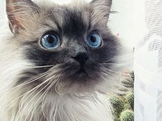 Pretty Do You Know Me, Panthers, I Love Cats, Blue Eyes, My Favorite Things, Pretty, Animals, Animales, Animaux