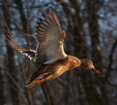 duck hunting | Duck Hunting Guides and Waterfowl Outfitters