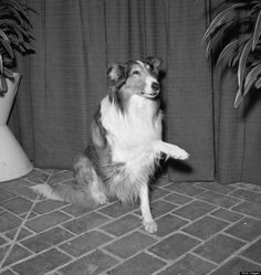 lassie at 1958 emmy's ... the first dog i fell in love with!!!
