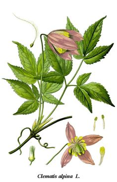 Cleaned-Illustration Clematis alpina