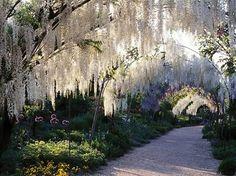 beautiful garden path with white wisteria