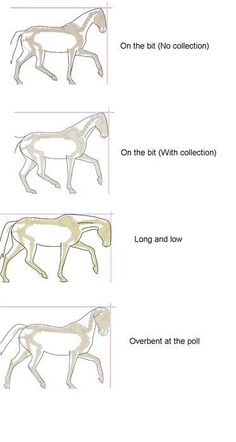 Many international dressage horses are over bent at the poll and not coll… Frame. Many international dressage horses are over bent at the poll and not collected correctly and the people are praised for it:( - Art Of Equitation Horse Riding Tips, Horse Tips, Dressage Horses, Dressage Videos, Horse Information, Horse Exercises, Horse Anatomy, Horse Facts, Horse Training
