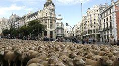 Al pascolo in centro città Madrid invasa dalle pecore