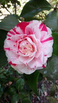 Camellia 'Lavinia Maggi', Camellia Steps