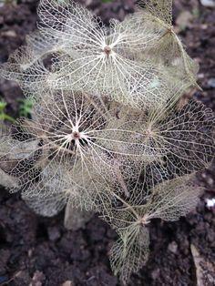 Dandelion, Flowers, Plants, Photos, Pictures, Dandelions, Flora, Plant, Royal Icing Flowers