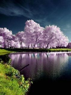 blossom trees by the water
